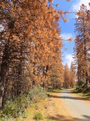 Dead trees along a forst road on the Sequoia National Forest in May 2016 (U.S. Forest Service)e