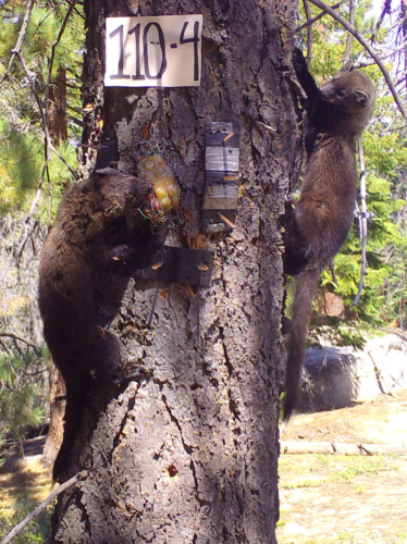 Two fishers, likely a mother and her kit, at a survey station (Jody Tucker/U.S. Forest Service Region 5)
