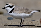 Photo of snowy plover from USFWS.