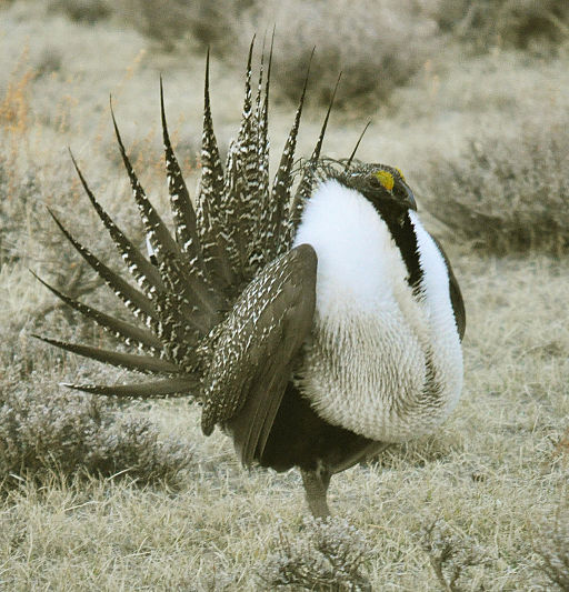 Male greater sage-grouse. Photo by Robert Shallenberger/Conservation Organization for the USFWS.