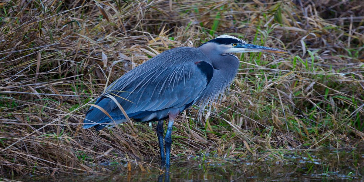 Great Blue Heron, photo by Miles Hemstrom