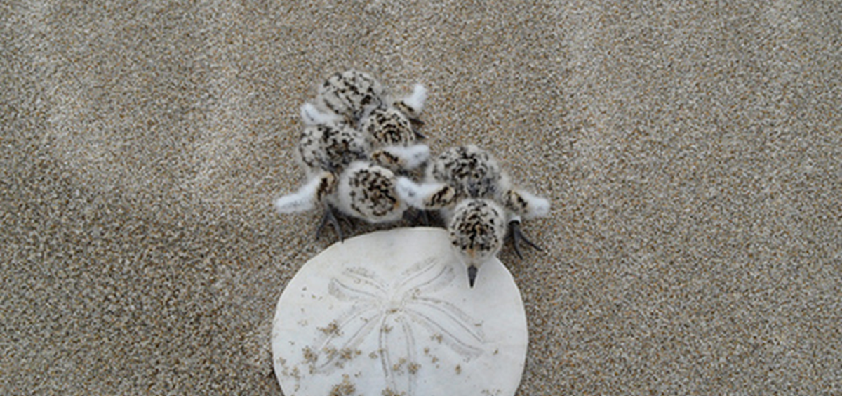 baby plovers next to a sand dollar