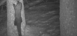 Photo of a fisher captured on a motion detector camera.